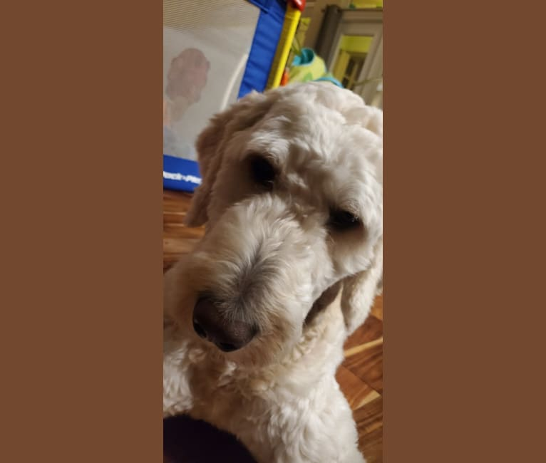 Photo of Dash, a Goldendoodle  in Montgomery, Indiana, IN, USA