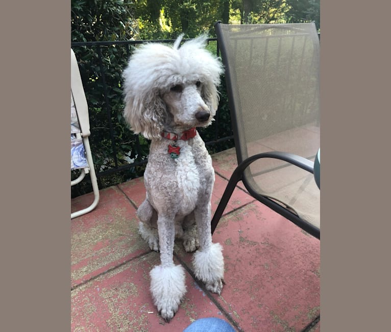Photo of Leo, a Poodle (Standard)  in New Kent, VA, USA