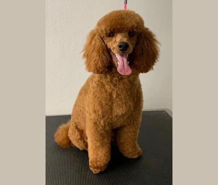 Photo of Charlie, a Poodle (Small)  in Denton, TX, USA