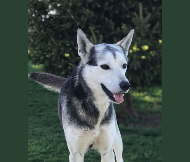 Photo of Juniper, a Siberian Husky  in Theresa, Wisconsin, USA