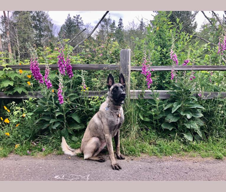 Photo of Sos, a Belgian Shepherd  in Sacramento, CA, USA