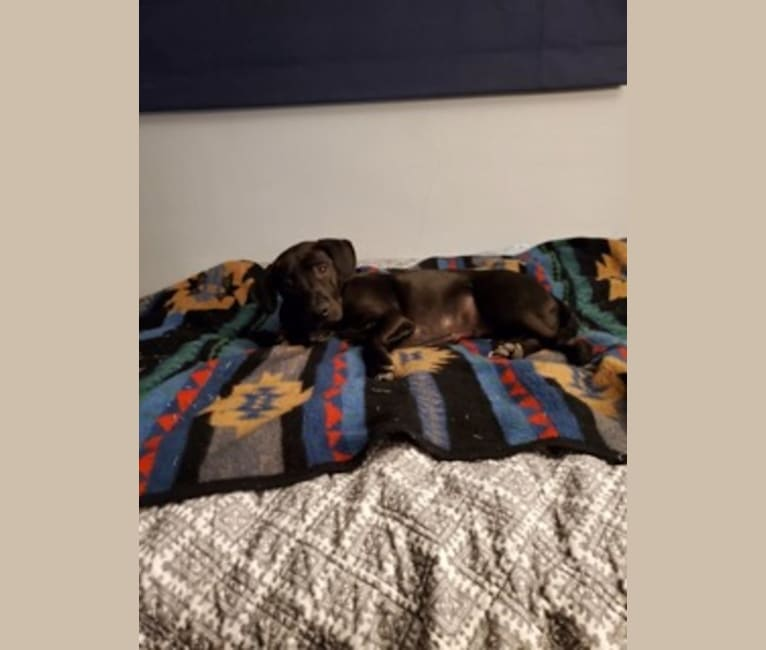 Photo of Teddy, an American Pit Bull Terrier, Australian Cattle Dog, American Staffordshire Terrier, and Mixed mix in Tucson, Arizona, USA