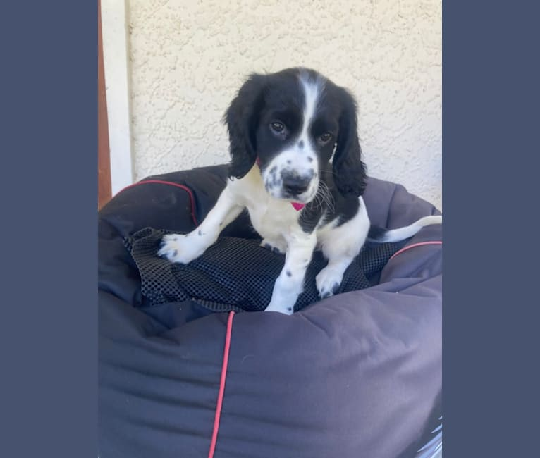 Photo of Sky, an English Springer Spaniel  in New Zealand