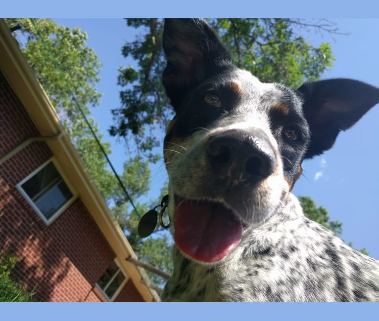 Photo of Gila, a German Shepherd Dog, American Pit Bull Terrier, Australian Cattle Dog, and American Bulldog mix in Fort Collins, Colorado, USA