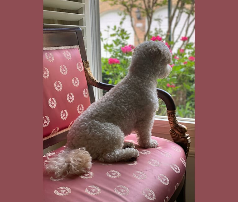 Photo of Harlow, a Poodle (Small) and Mixed mix in Colombia, South America