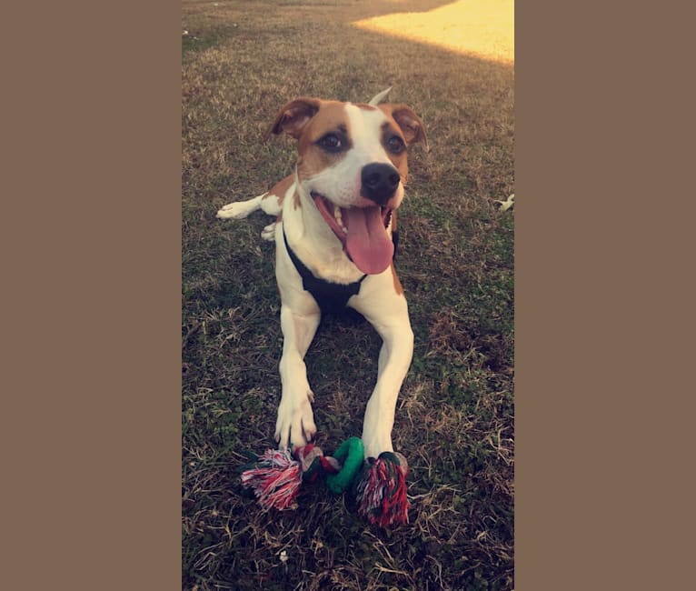 Photo of Bubba, an American Pit Bull Terrier, American Staffordshire Terrier, Australian Shepherd, and Beagle mix in Lanexa, Virginia, USA