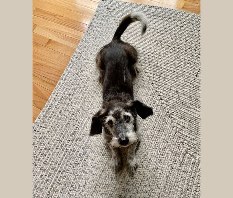 Photo of Foster, a Basset Hound, Shih Tzu, Maltese, and Mixed mix in Reston, Virginia, USA