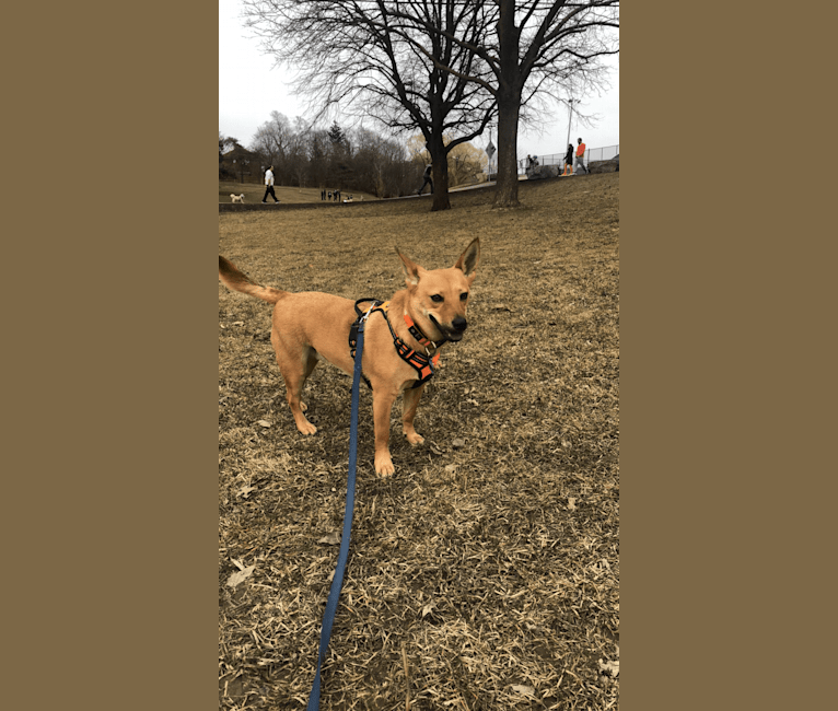 Photo of Goober, a Chihuahua, Chow Chow, Australian Cattle Dog, Russell-type Terrier, Siberian Husky, Pomeranian, and Mixed mix in Texas, USA