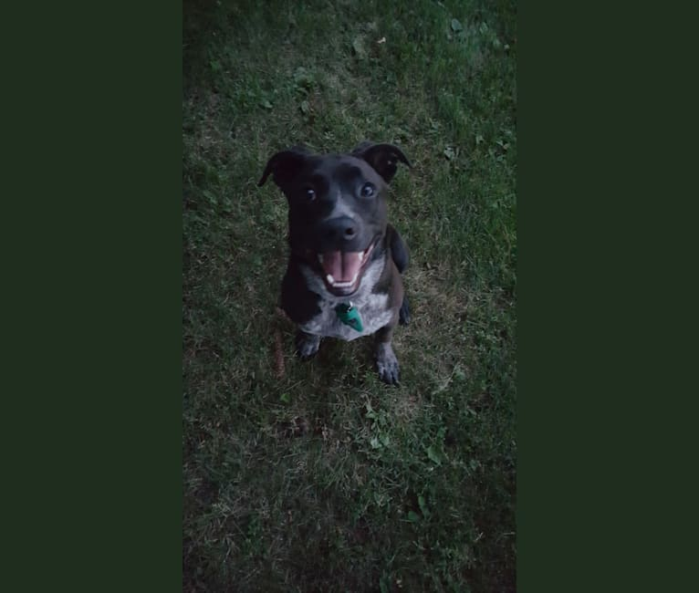 Photo of Luna, a Cane Corso, Australian Cattle Dog, and Mixed mix in Mississippi, USA