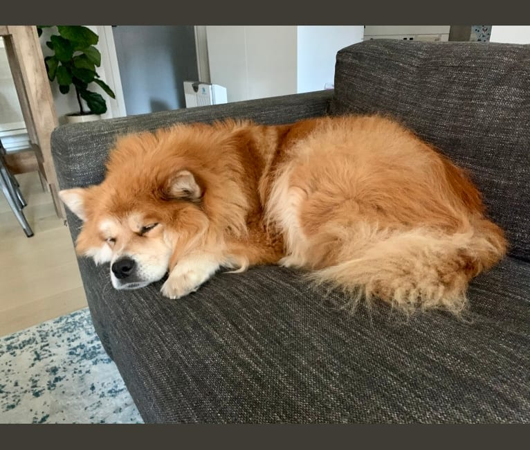Photo of Samantha, a Chow Chow and Mixed mix in Birmingham, Alabama, USA