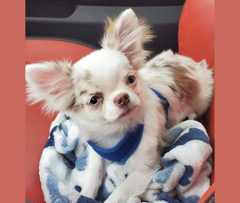 Photo of Spenser, a Chihuahua  in Salem, OR, USA