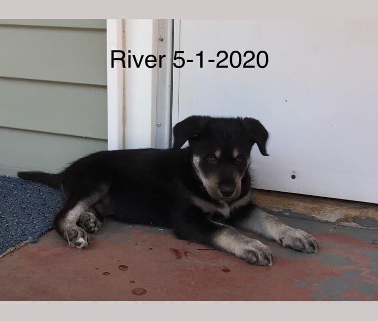 Photo of River, a Siberian Husky, Poodle (Standard), and Labrador Retriever mix in Montana, USA