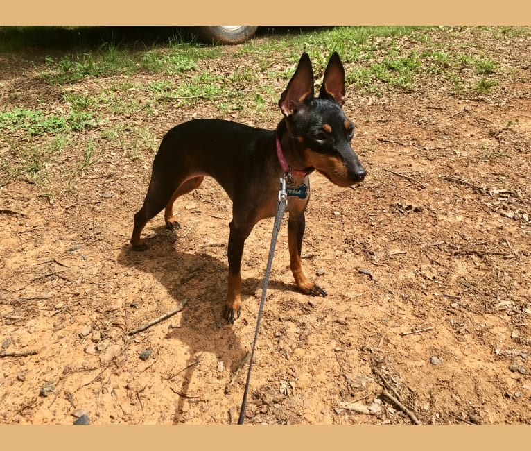 Photo of Tesla, a Manchester Terrier (Toy)  in Fort Mill, SC, USA