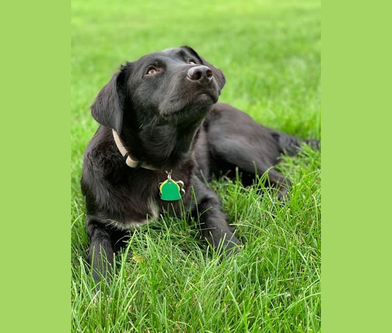 Photo of Shadow, a Golden Retriever, American Pit Bull Terrier, German Shepherd Dog, Labrador Retriever, and Mixed mix in Downers Grove, Illinois, USA