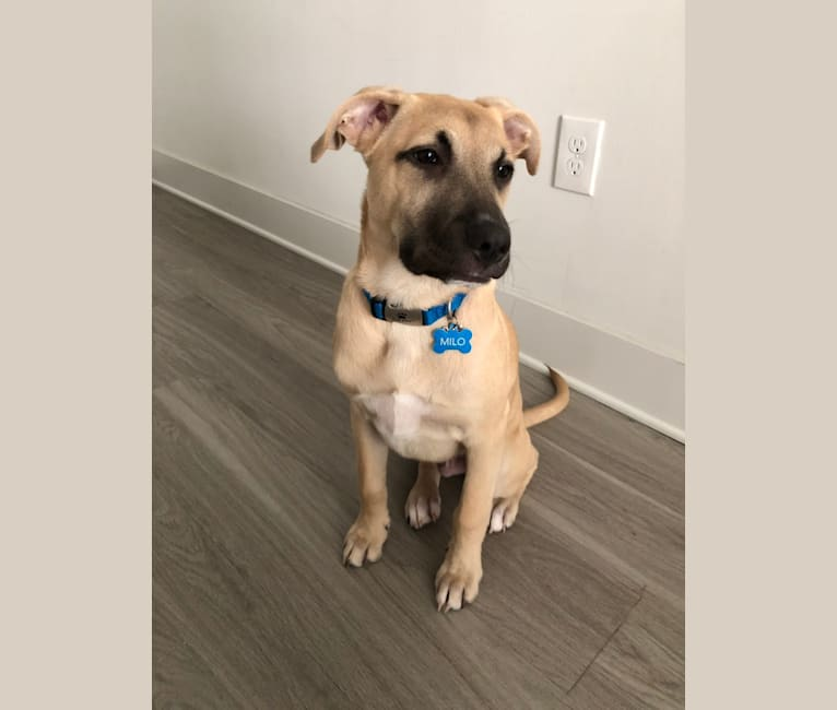 Photo of Milo, an American Pit Bull Terrier, Labrador Retriever, Mountain Cur, Chow Chow, and Mixed mix in Atlanta, Georgia, USA