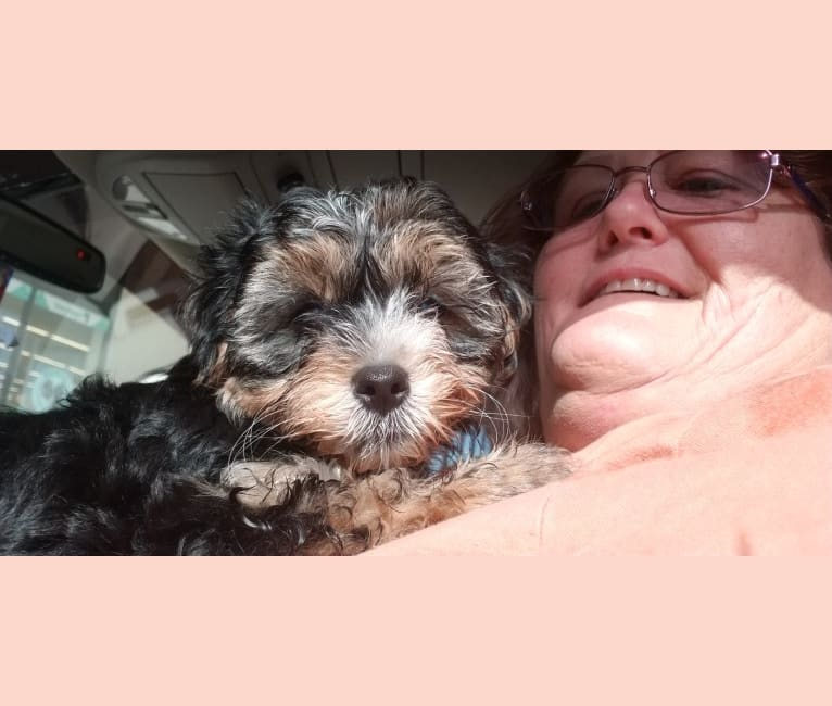Photo of Bella Rose, a Yorkshire Terrier, Maltese, and Poodle (Small) mix in Alvin, Texas, USA