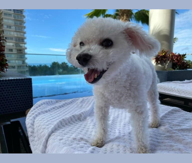 Photo of Coconut, a Bichon Frise  in Prince George, BC, Canada