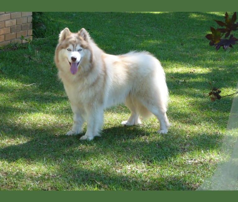 """Photo of """"SAKARI"""" SUNSHINE SAKARI, a Siberian Husky  in Michigan, USA"""