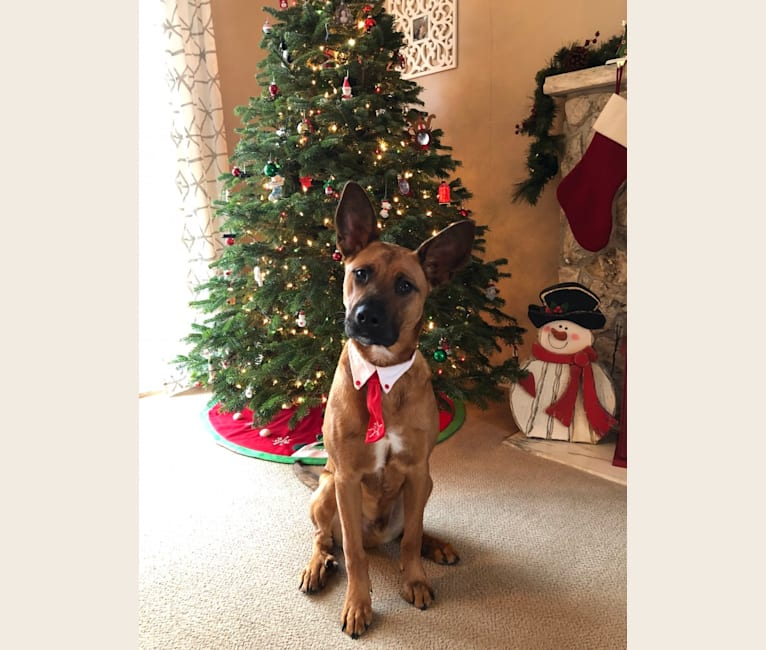 Photo of Charlie, a Rottweiler, Alaskan Malamute, and American Bully mix in Virginia, USA