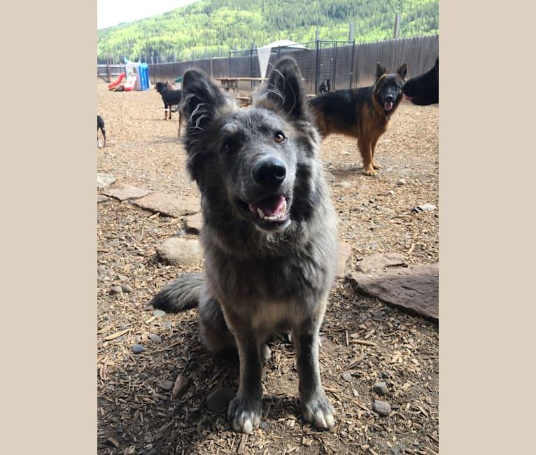 Photo of Shiloh, a German Shepherd Dog, Akita, Akita Inu, and Cocker Spaniel mix in Strasburg, Colorado, USA