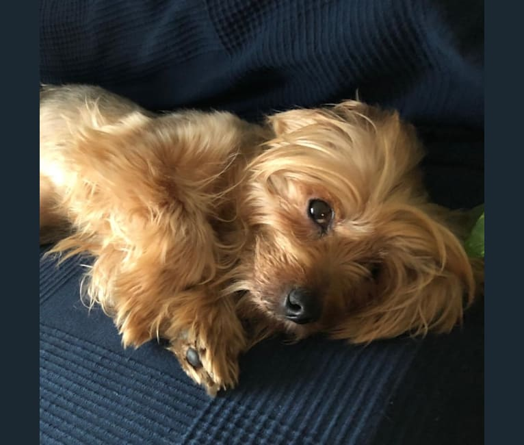 Photo of Trevor, a Yorkshire Terrier