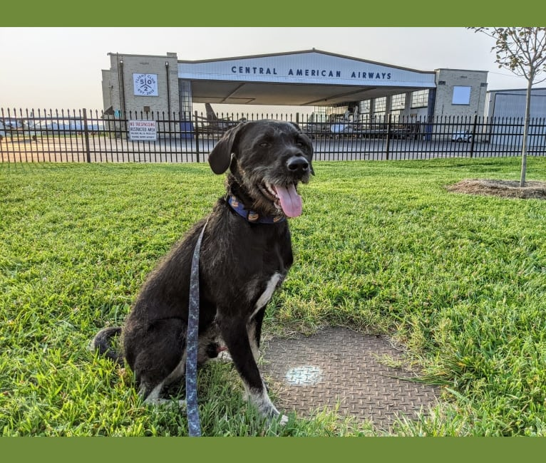 Photo of Carlos, a Poodle (Standard), American Pit Bull Terrier, and American Staffordshire Terrier mix in Louisville, Kentucky, USA