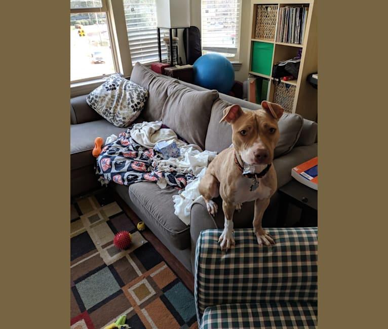 Photo of Annie, an American Pit Bull Terrier, American Bully, and American Staffordshire Terrier mix in St. John, U.S. Virgin Islands