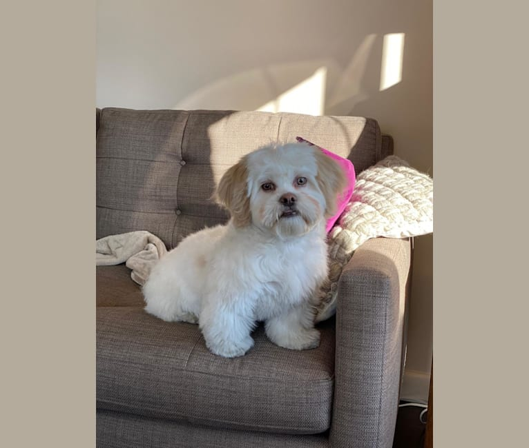 Photo of Snowy, a Shih Tzu, Bichon Frise, and Pekingese mix in Boston, Massachusetts, USA