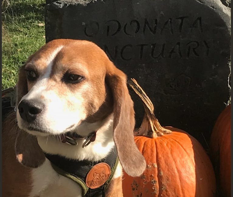 Photo of Archie, a Beagle  in Honeoye Falls, New York, USA