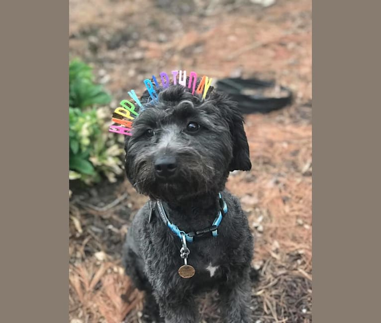 Photo of Bluebonnet, a Poodle (Small), American Pit Bull Terrier, Cocker Spaniel, and Mixed mix in San Antonio, TX, USA