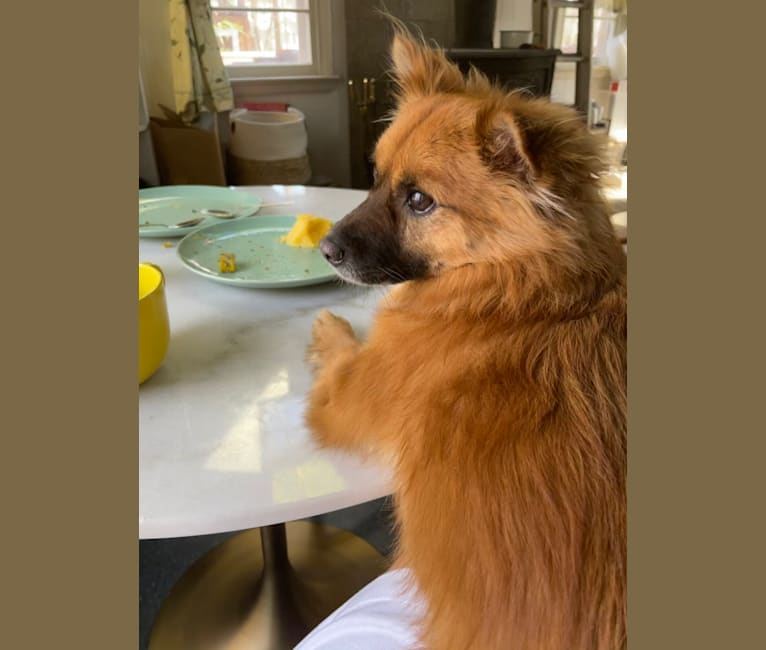 Photo of Coyo aka Habibi, a Japanese and Korean Village Dog and Miniature Pinscher mix in South Korea