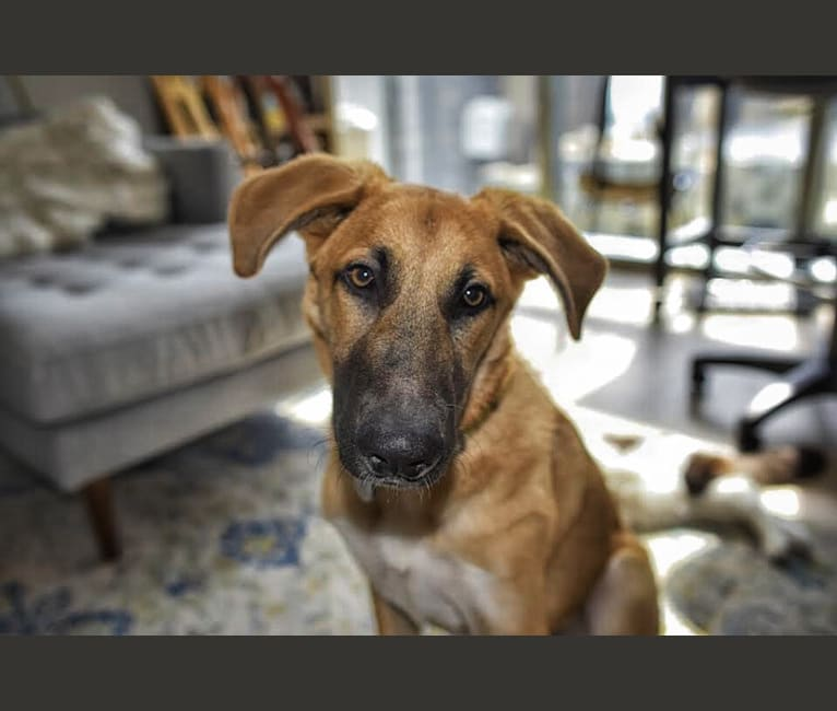 Photo of Luger, a German Shepherd Dog and Great Pyrenees mix in California, USA