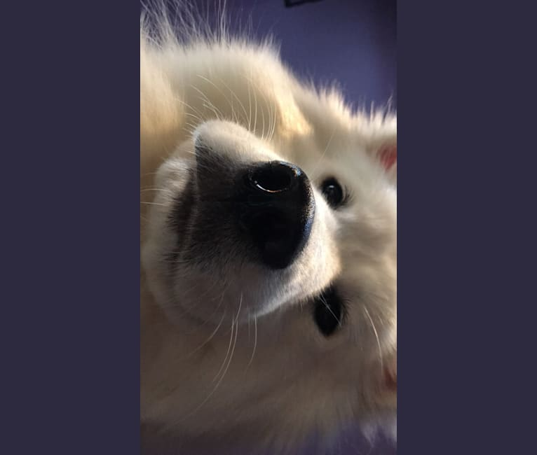 Photo of Goose, a Samoyed  in Oregon, USA