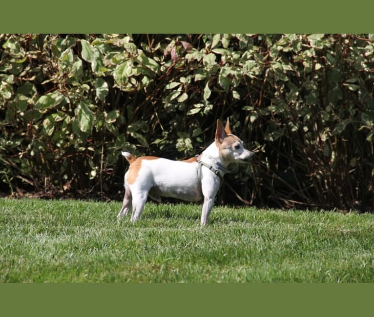Photo of Billy, a Toy Fox Terrier  in Colorado Springs, Colorado, USA