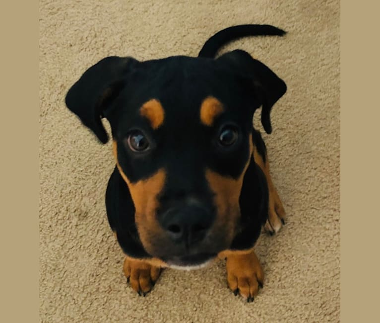Photo of Abi, a Rottweiler, Boxer, and American Pit Bull Terrier mix in San Diego, California, USA