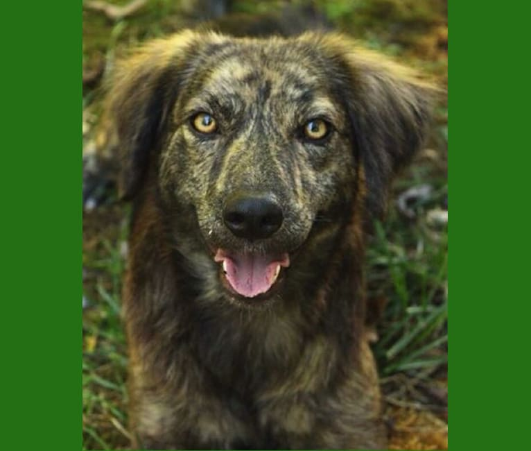 Photo of Mama dáy, a Plott, Border Collie, American Pit Bull Terrier, Beagle, and Mixed mix in Rutledge, TN, USA