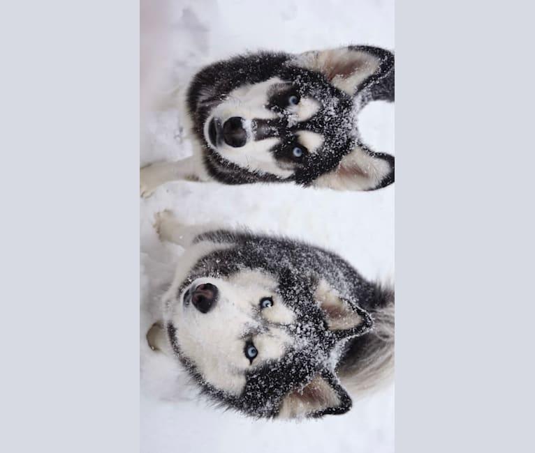 Photo of Adok, a Siberian Husky  in South Carolina, USA