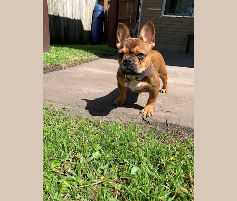 Photo of Tchoup, a French Bulldog  in New Orleans, Louisiana, USA