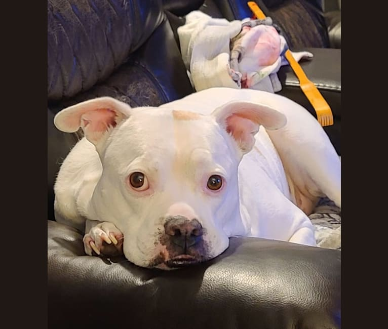 Photo of Gigi, an American Pit Bull Terrier, American Bulldog, and Boxer mix in Florida, USA