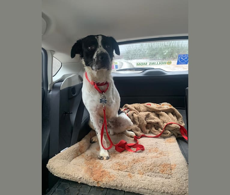 Photo of Finley, an American Pit Bull Terrier, Llewellin Setter, American Staffordshire Terrier, and Labrador Retriever mix in Cary, North Carolina, USA