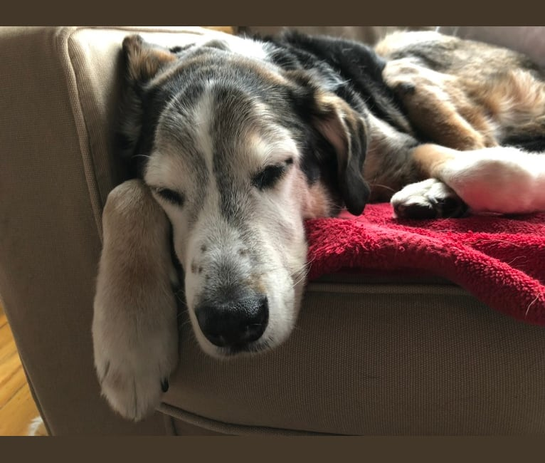 Photo of Eli, a Labrador Retriever, Beagle, Chow Chow, and Boxer mix in West Virginia, USA