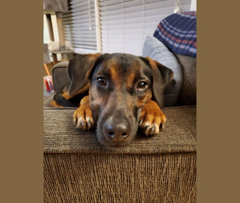 Photo of Charlie, a Catahoula Leopard Dog, Australian Cattle Dog, Labrador Retriever, and American Pit Bull Terrier mix in Texas, USA