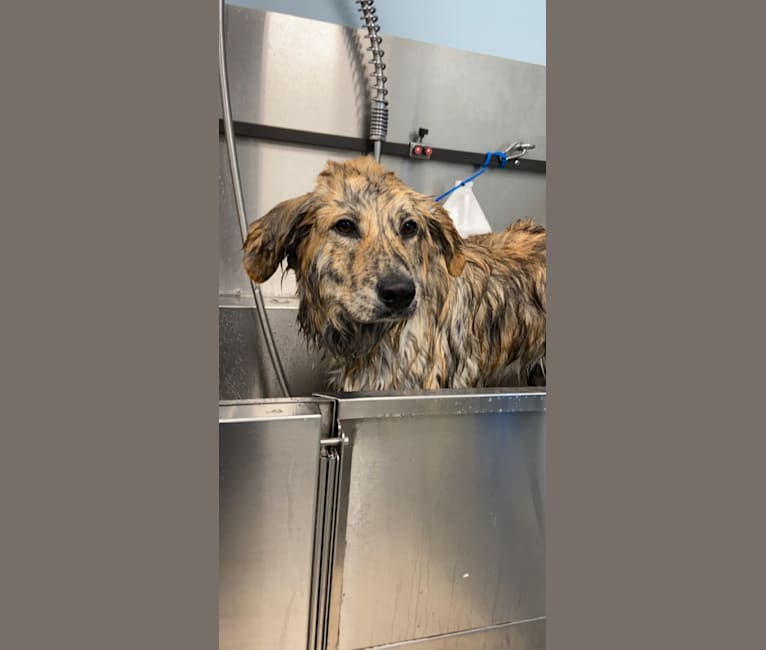 Photo of Hudson, a Great Pyrenees, Chow Chow, Labrador Retriever, Rottweiler, and Mixed mix in Philadelphia, Pennsylvania, USA