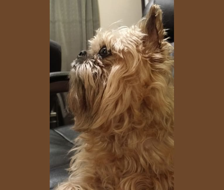 Photo of Groucho, a Brussels Griffon  in Sugarloaf, Arkansas, USA