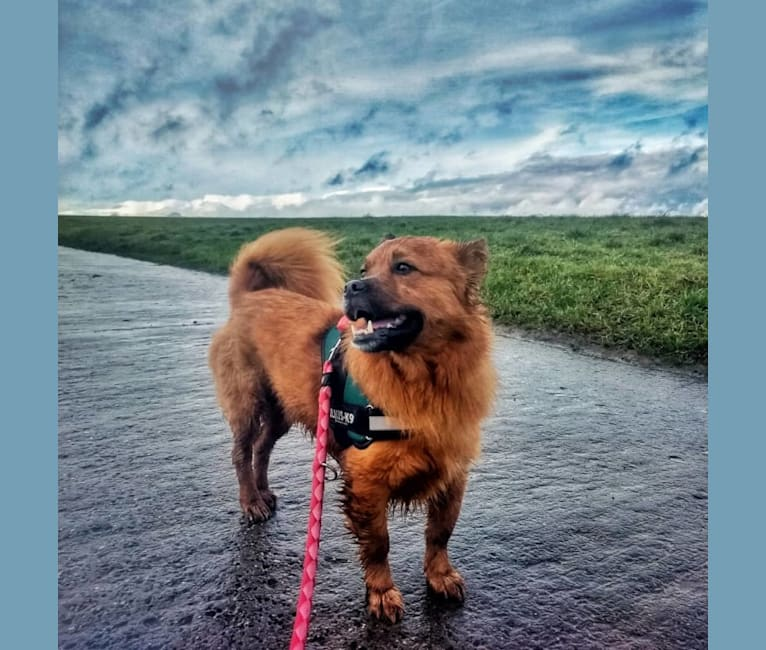 Photo of Yoda, a German Shepherd Dog, Pekingese, and Mixed mix in Romania
