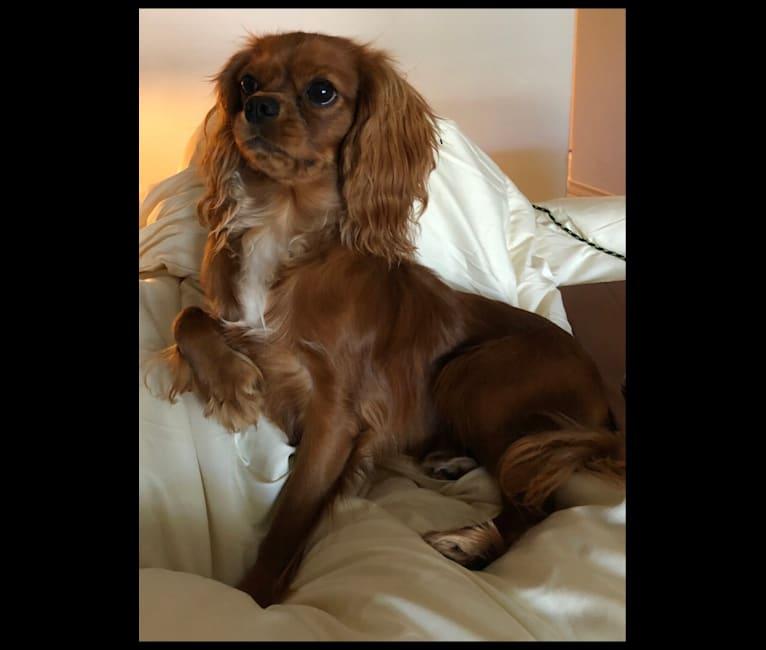 Photo of Duke, a Cavalier King Charles Spaniel  in Avon, IN, USA