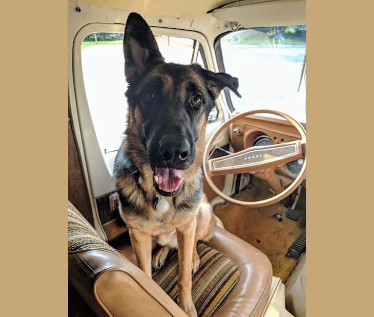 Photo of Brutus, a German Shepherd Dog and Samoyed mix in Utah, USA