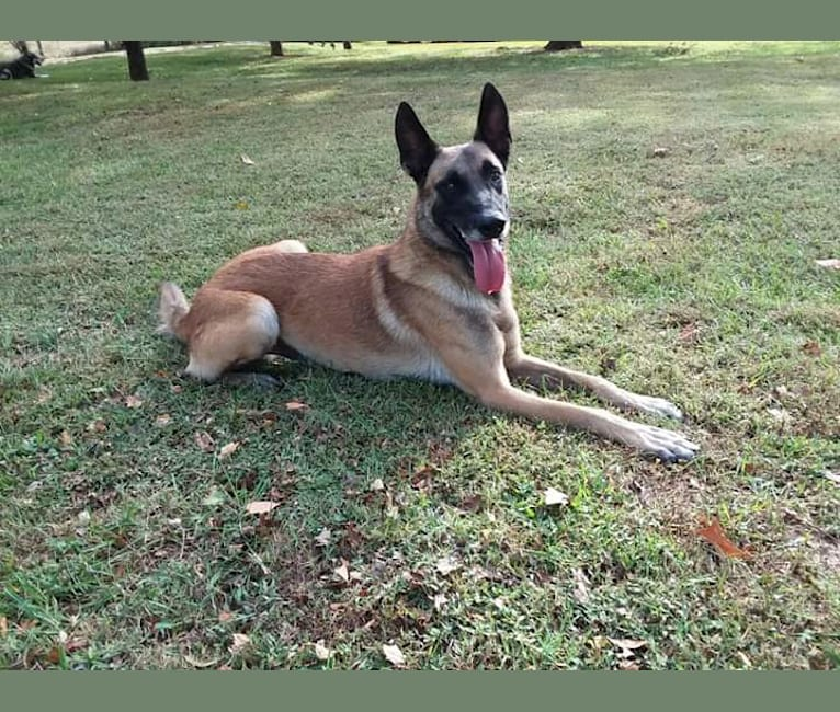 Photo of Sword, a Belgian Shepherd  in Colbert, GA, USA