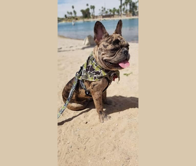 Photo of Opie, a French Bulldog  in Florida, USA