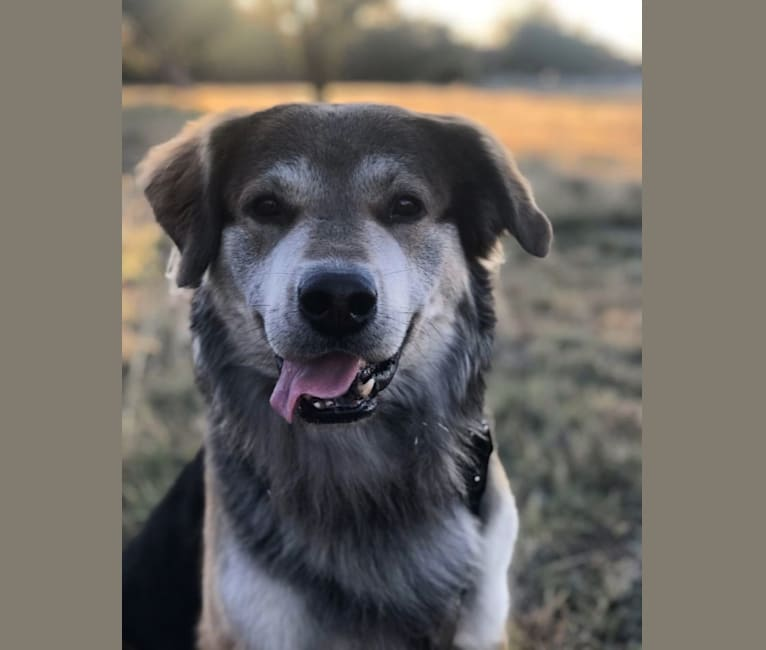 Photo of Booker, a Labrador Retriever, Chesapeake Bay Retriever, German Shepherd Dog, Australian Cattle Dog, and Alaskan Malamute mix in Idaho, USA